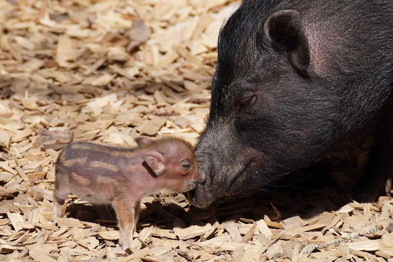 Ein neugeborenes Ferkelchen mit seiner Mama im Salzburger Zoo