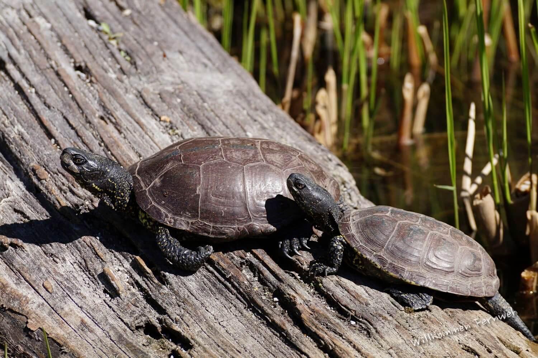 Sumpfschildkröten – einheimisch oder fremdländisch?