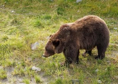 Bär im Wildlife Center, Alaska