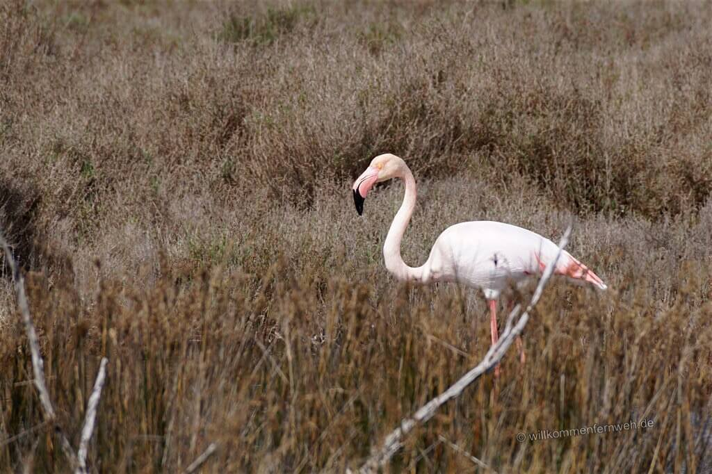 Flamingo in der Camargue