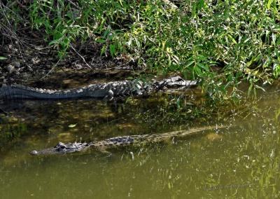 Alligator, Everglades, Florida