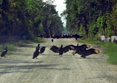 Geier sperren die Straße ab