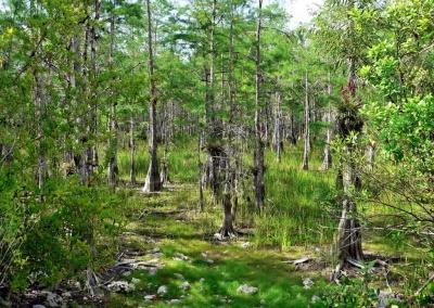 Sumpfzypressen, Everglades