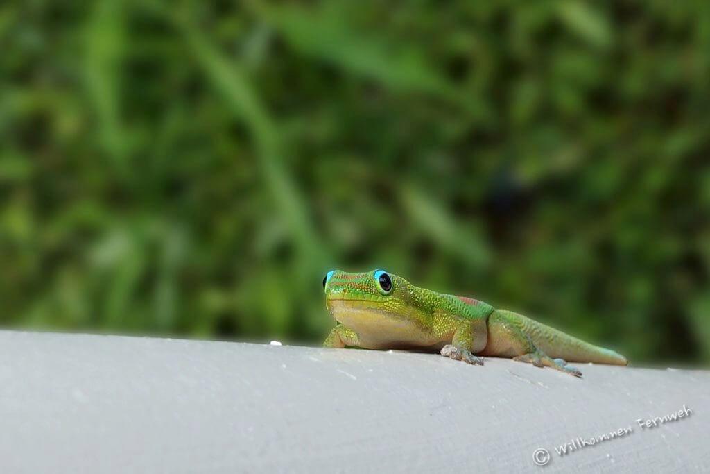 Gecko auf Hawaii – Wärme und gut drauf sein