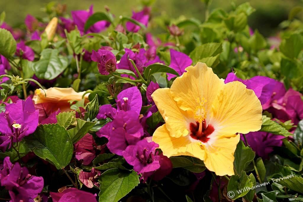 Hibiscus-Blüten auf Maui