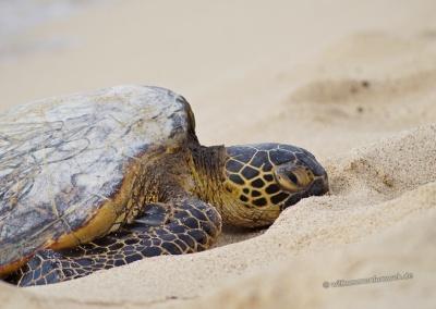 Honu Meeresschildkröte am Mahaiula Beach, Hawaii Big Island
