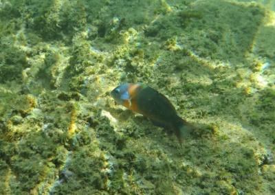 Fisch vor Maui