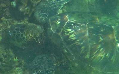 Somewhere beyond the Sea – Wie wir mit Meeresschildkröten geschwommen sind