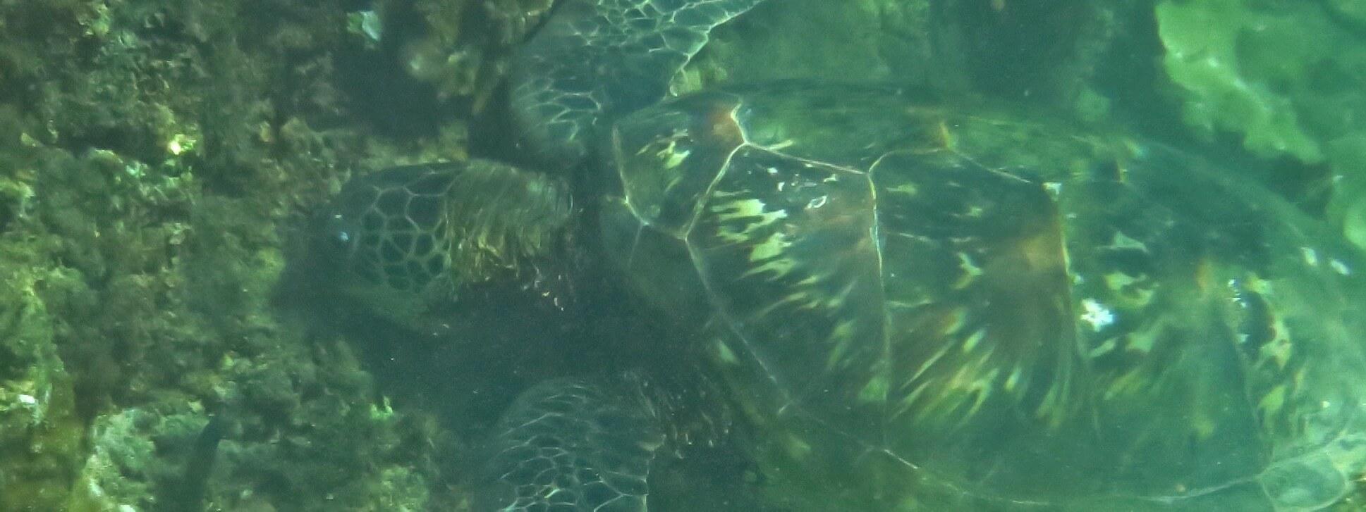 Honu Meeresschildkröte, Kauai, Hawaii