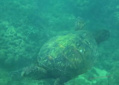 Honu unter Wasser, Hideaways Beach