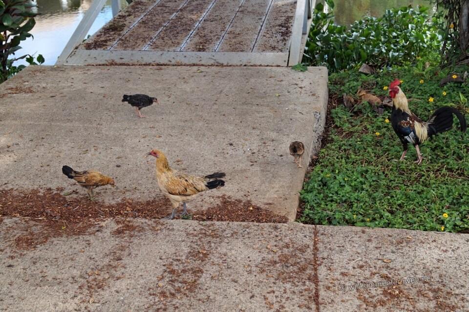 Hühner, Kauai