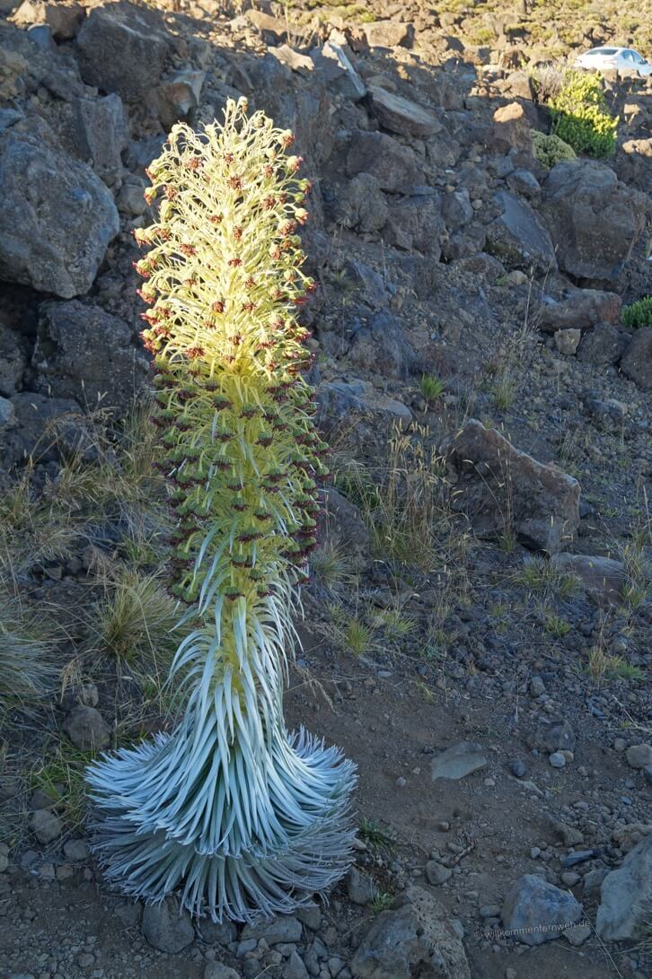Silversword im Haleakala National Park