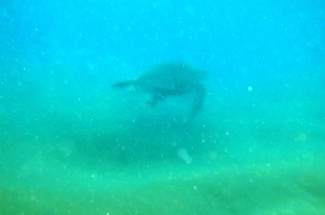 Honu Meeresschildkröte, Maui, Hawaii
