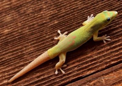 Tag-Gecko