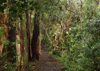 Waikamoi Nature Trail, Maui