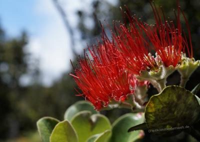 Ohia Lehua Blüte