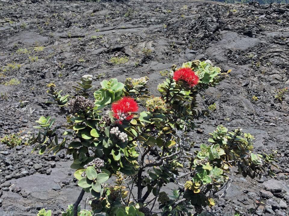 Ohia Lehua, Hawaii