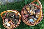 Voller Korb Pilze im Herbst