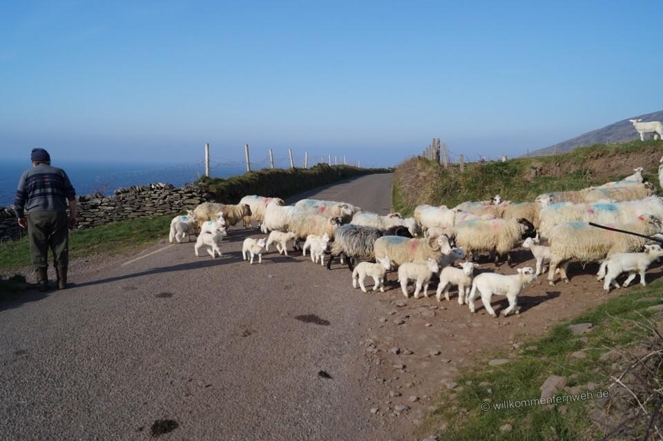 Schafe auf der Straße, Irland