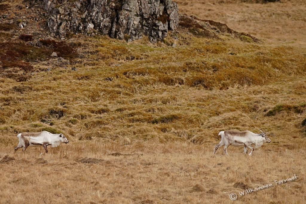 Rentiere im Süden von Island