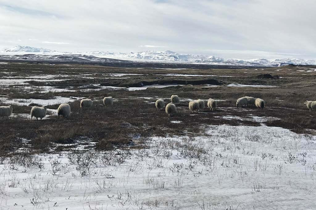 Typisch Island aber im winterlichen April noch ein seltener Anblick: Schafe