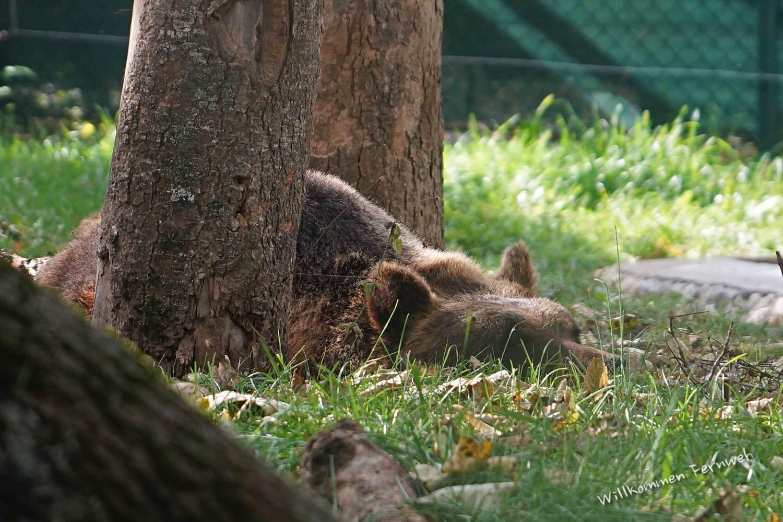 Gelassenheit pur: Marsischer Braunbär im Abruzzen-Nationalpark