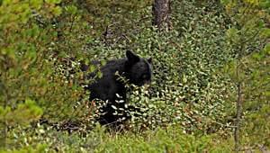 Schwarzbär Bärengeschichten