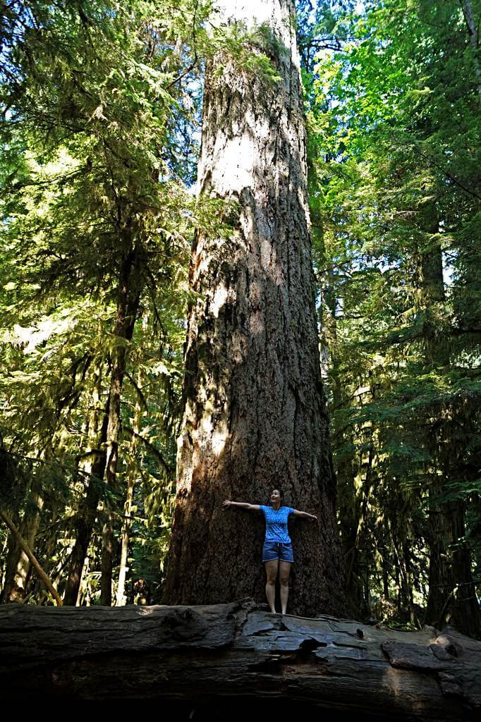 Big Tree, Douglasie im Cathedral Grove des McMillan Provincial Park