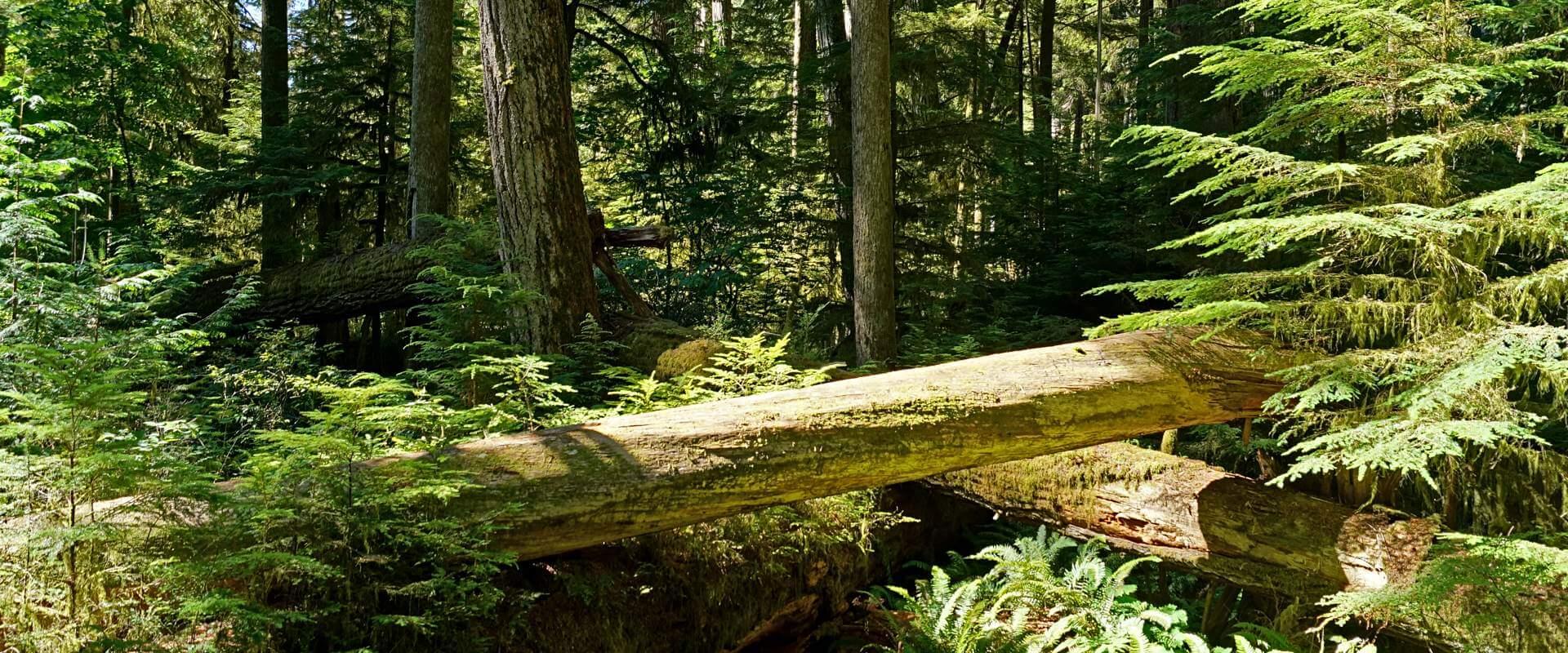 Auf den Spuren außergewöhnlicher Wälder und gewaltiger Bäume in Nordamerika