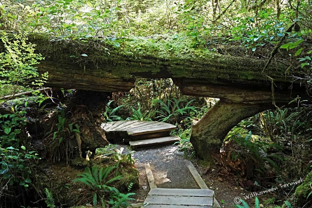 """Rainforest Trail mit """"Baumstamm-Unterführung"""", Pacific Rim National Park"""