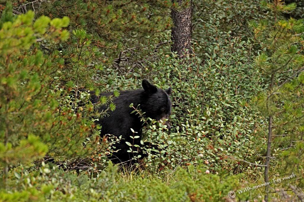 Schwarzbär in den Beerenbüschen