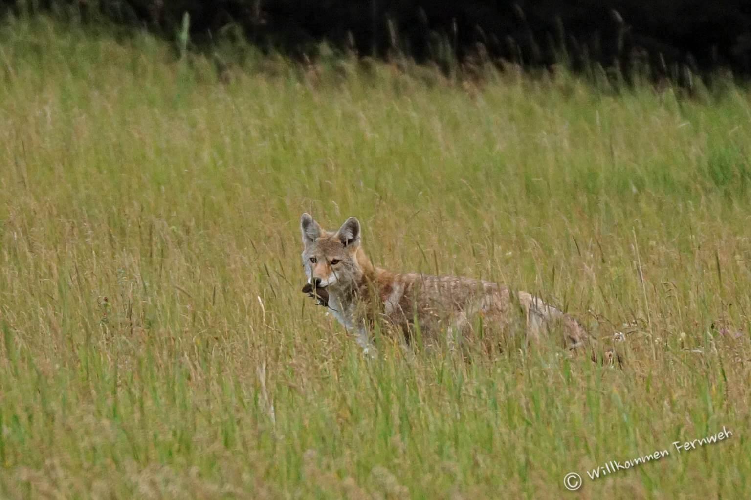 Kojote mit Beute
