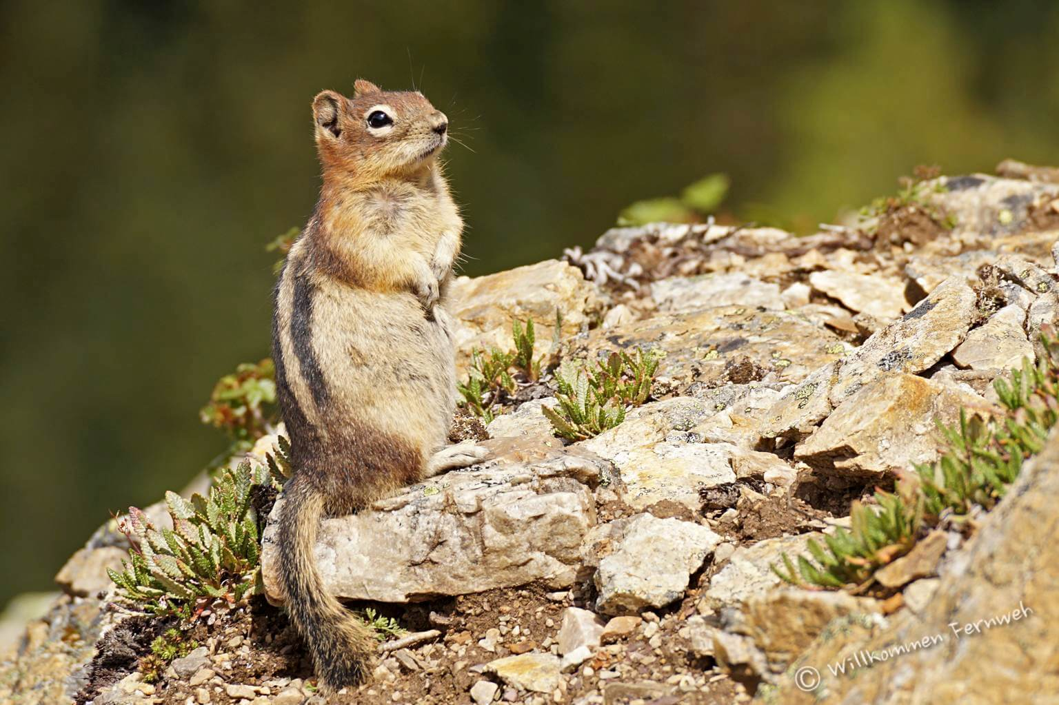 Goldmantelziesel (golden-mantled ground squirrel)