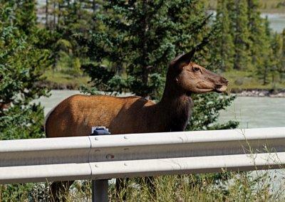 Wapiti direkt am Highway, nahe Jasper