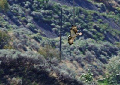 Fischadler (osprey) im Flug