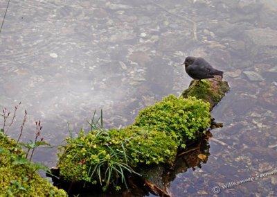 Wasseramsel (american dipper) am Lake O'Hara
