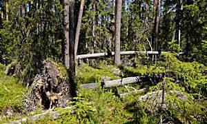 Urwald im Hamra Nationalpark, Mittelschweden