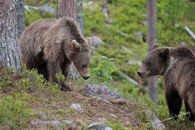 Halbstarke Braunbären im Orsa Rovdjurspark (Mittelschweden)