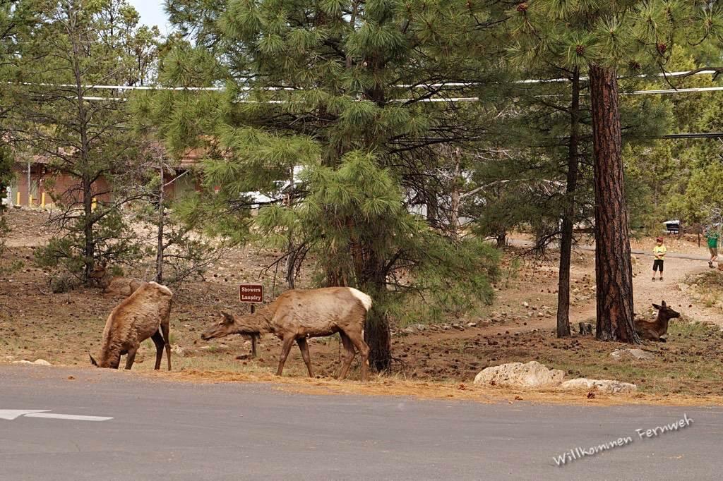 Wapiti-Hirsche ohne Scheu, hier an der Laundry des Mather Campground, Grand Canyon