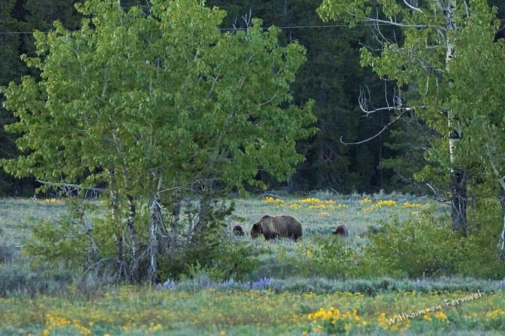 Grizzly mit zwei Jungen im Grand Teton National Park