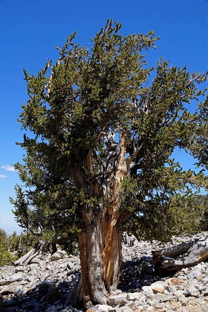 Uralte Bristlecone Pine (Grannenkiefer) im Great Basin Nationalpark