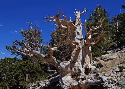 Skelett einer uralten Bristlecone Pine