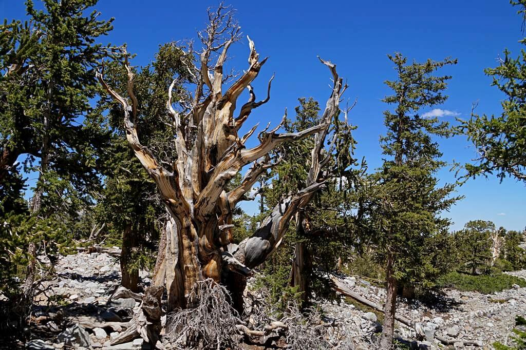 Diese Grannenkiefer (Bristlecone Pine) ist über 3200 Jahre alt und lebendig (hat noch wenige grüne Zweige). Great Basin National Park