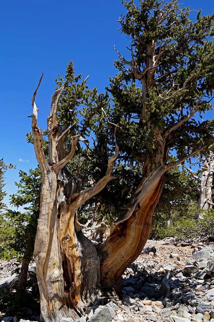 Diese Langlebige Kiefer ist beeindruckende 3100 bis 3300 Jahre alt. Great Basin National Park
