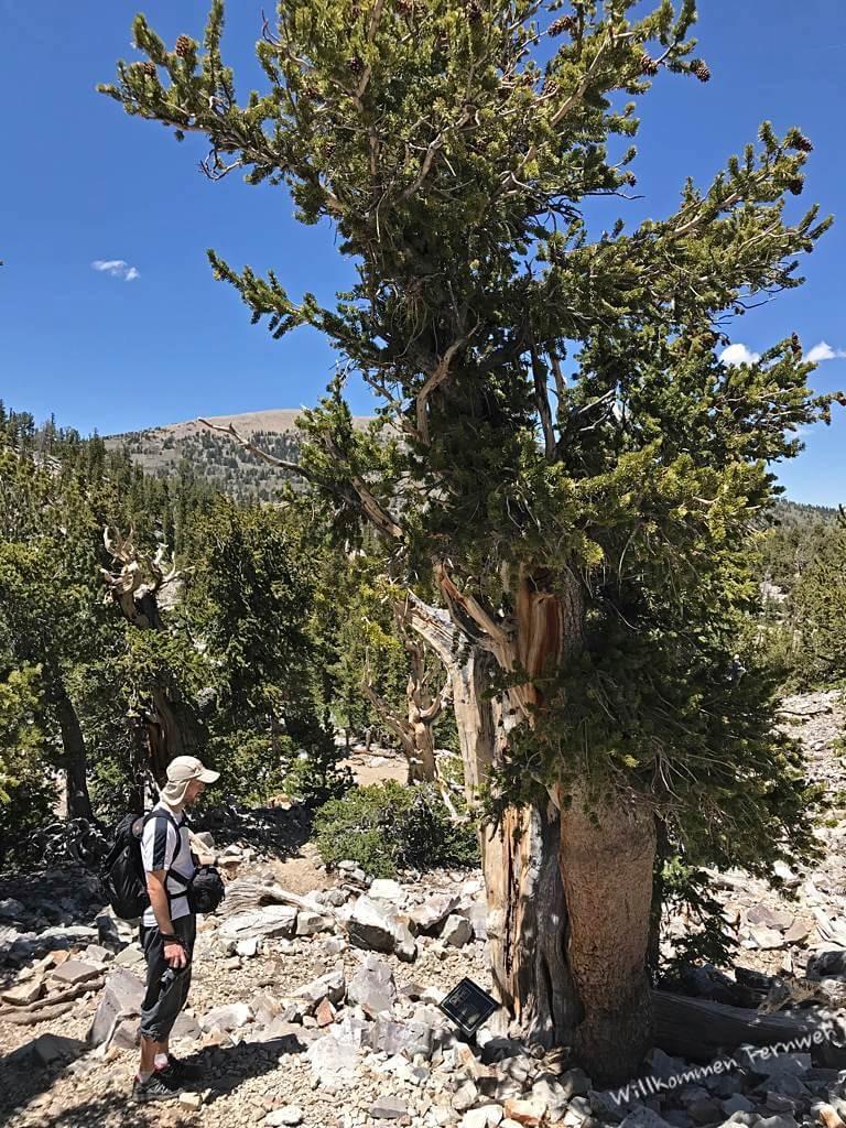 Klaus vor einer uralten Grannenkiefer, Great Basin National Park
