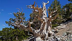 Great Basin National Park Bristlecone Pine