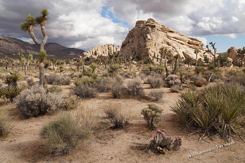 Abendstimmung und blühender Kaktus im Joshua Tree National Park