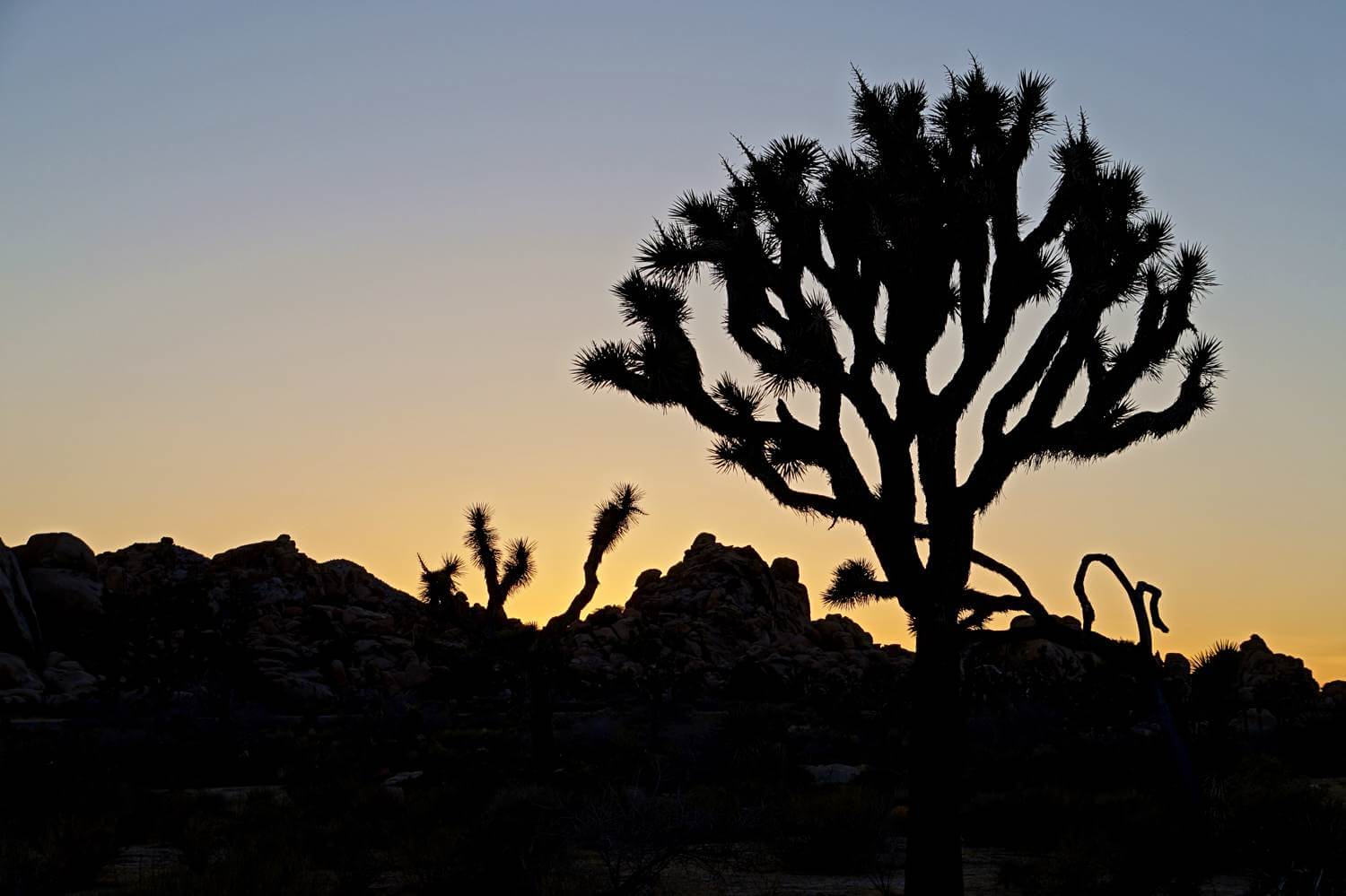 Joshua Tree Abendsilhouette (Joshua Tree Nationalpark)