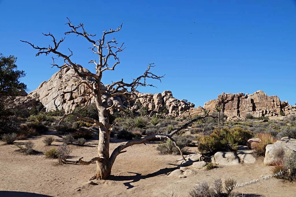 Pittoreskes Baumskelett im Hidden Valley, Joshua Tree National Park