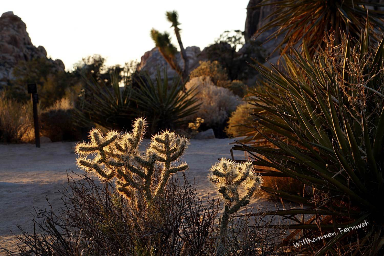 Cholla Cactus im abendlichen Hidden Valley, Joshua Tree National Park